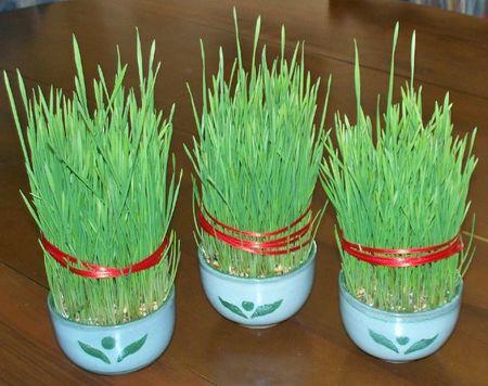 Tradition provençale: Le blé de la Sainte Barbe  Bles-sainte-barbe-noel-provence-blog-groupe-auxandre