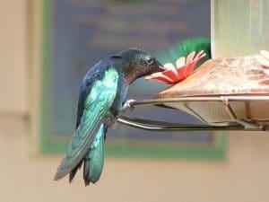 oiseau colibri présent à la matinique